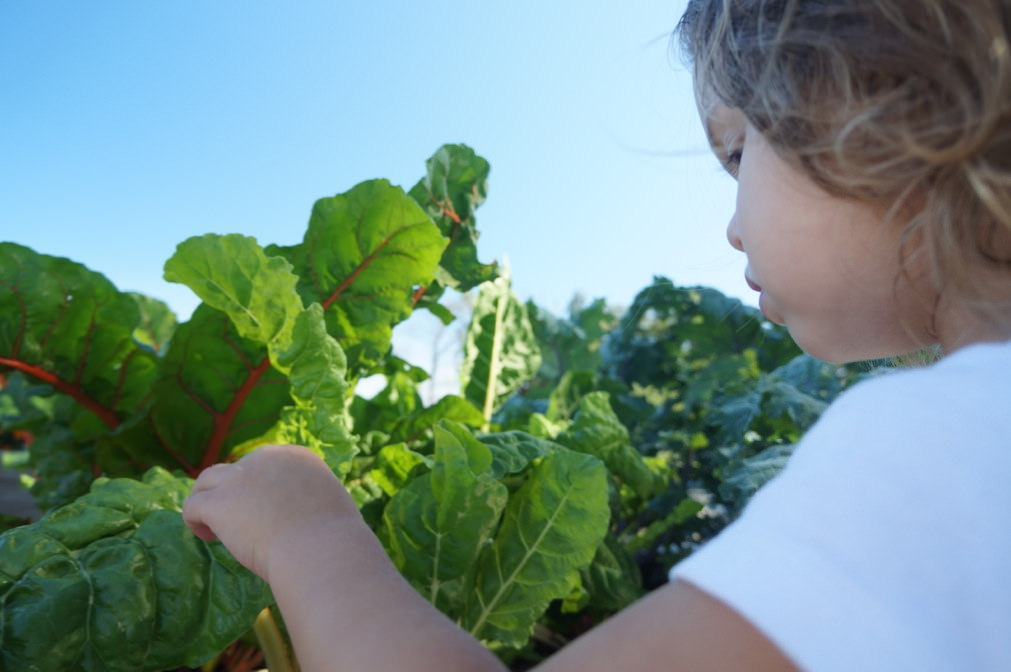 Talulah, 4, picks chard from a raised garden bed at the farm. (Photo by Amber Storm, MilwaukeeByStorm.com)